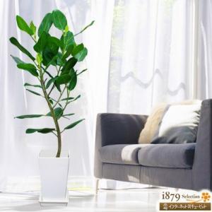 産直 観葉植物(通年) 花キューピットのベンガレンシス(白鉢) i879