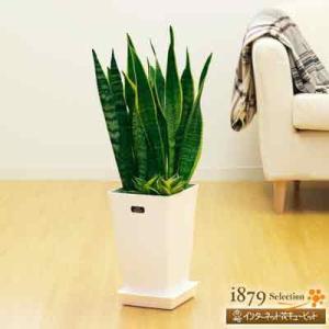 産直 観葉植物(通年) 花キューピットのサンセベリア3種寄せ鉢(白鉢) i879
