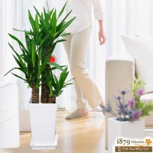 産直 観葉植物(通年) 花キューピットのユッカエレファンティペス 青年の樹(白鉢) i879