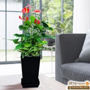 産直 観葉植物(通年) 花キューピットのアンスリウムとゴットの寄せ鉢(黒鉢) i879