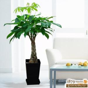 産直 観葉植物(通年) 花キューピットのパキラ(黒鉢) i879