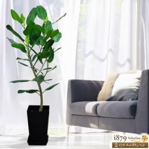 産直 観葉植物(通年) 花キューピットのベンガレンシス(黒鉢) i879