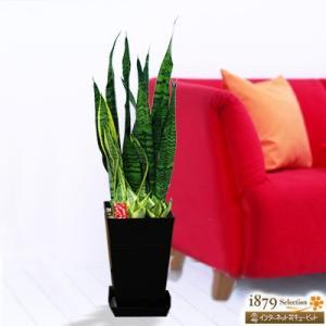 産直 観葉植物(通年) 花キューピットのサンセベリア3種寄せ鉢(黒鉢) i879