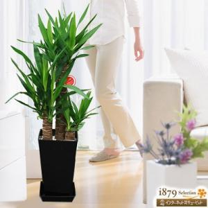 産直 観葉植物(通年) 花キューピットのユッカエレファンティペス 青年の樹(黒鉢) i879