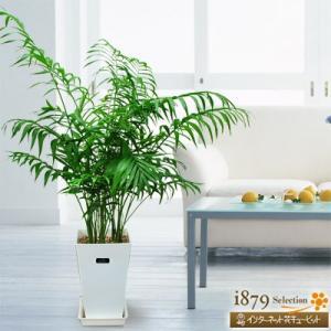 産直 観葉植物(通年) 花キューピットのテーブルヤシ(白鉢) i879