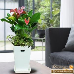 産直 観葉植物(通年) 花キューピットのアンス フィオリノ(紫)(白鉢) i879
