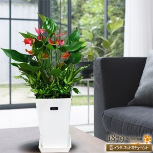 産直 観葉植物(通年) 花キューピットのアンスピンクチャンピオン(白鉢) i879