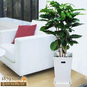 産直 観葉植物(通年) 花キューピットのコーヒーの木(白鉢) i879
