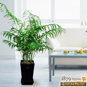産直 観葉植物(通年) 花キューピットのテーブルヤシ(黒鉢) i879