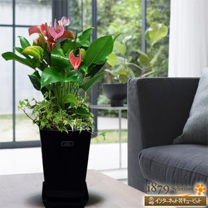産直 観葉植物(通年) 花キューピットのアンス フィオリノ(紫)(黒鉢) i879