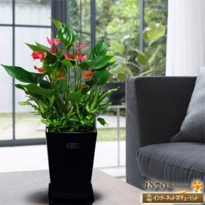 産直 観葉植物(通年) 花キューピットのアンスピンクチャンピオン(黒鉢) i879