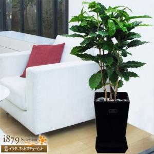 産直 観葉植物(通年) 花キューピットのコーヒーの木(黒鉢) i879