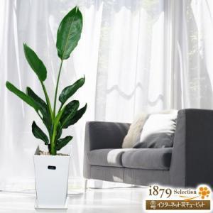 産直 観葉植物(通年) 花キューピットのストレチアレギネ(白鉢) i879