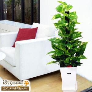 産直 観葉植物(通年) 花キューピットのポトスヘゴ(白鉢) i879