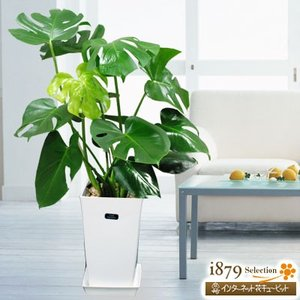 産直 観葉植物(通年) 花キューピットのモンステラ(白鉢) i879