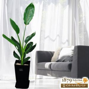 産直 観葉植物(通年) 花キューピットのストレチアレギネ(黒鉢) i879