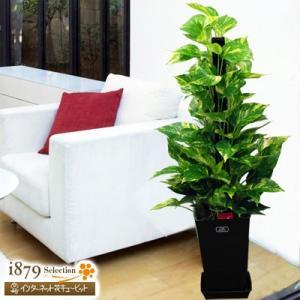 産直 観葉植物(通年) 花キューピットのポトスヘゴ(黒鉢) i879