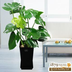 産直 観葉植物(通年) 花キューピットのモンステラ(黒鉢) i879