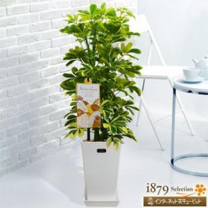 産直 観葉植物(通年) 花キューピットのカポック ハッピーイエロー(白鉢) i879