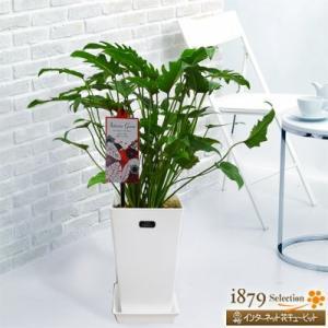 産直 観葉植物(通年) 花キューピットのクッカバラ(白鉢) i879