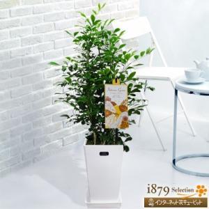 産直 観葉植物(通年) 花キューピットのシルクジャスミン(白鉢) i879