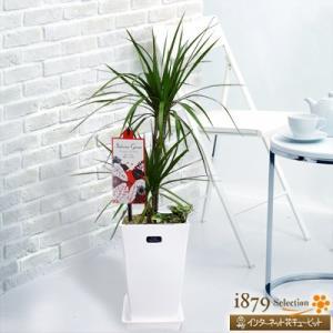 産直 観葉植物(通年) 花キューピットのコンシンネ マジナータ&アイビー(白鉢) i879