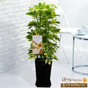 産直 観葉植物(通年) 花キューピットのカポック ハッピーイエロー(黒鉢) i879
