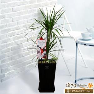 産直 観葉植物(通年) 花キューピットのコンシンネ マジナータ&アイビー(黒鉢) i879