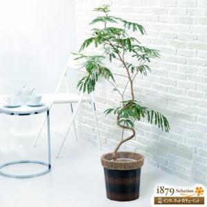 産直 観葉植物(通年) 花キューピットのエバーフレッシュ ≪幹曲がりシリーズ≫(バスケット) i879