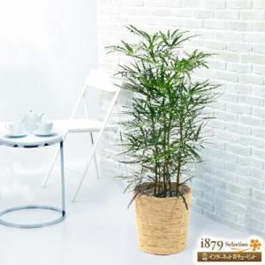 産直 観葉植物(通年) 花キューピットのアラレア (バスケット) i879