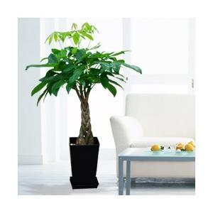 産直 観葉植物(通年)・パキラ(黒鉢) 花キューピット インテリア 鉢植え ギフト プレゼント