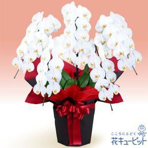 開店祝い・開業祝い 花キューピットの胡蝶蘭 5本立(開花輪白50以上)赤系ラッピング 花 ギフト お祝い プレゼント|i879