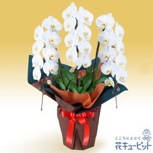 新築引っ越し祝い 花キューピットの胡蝶蘭 3本立(開花輪白24以上)オレンジ系ラッピング 花 ギフト お祝い プレゼント|i879