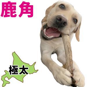 北海道産★特大★鹿の角〜25cm【送料無料】大型犬喜ぶ頑丈な犬のおもちゃ『角王(つのおう)』|ichikawa929