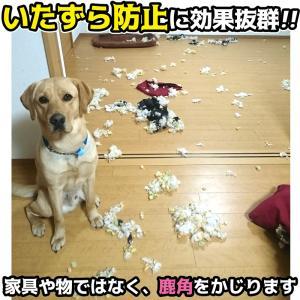 北海道産★鹿の角★犬のおもちゃ15〜25cm【送料無料】大型犬喜ぶ頑丈な犬のおもちゃ鹿角『角王(つのおう)』|ichikawa929|13