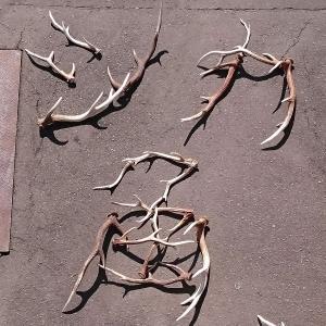 北海道産★鹿の角★犬のおもちゃ15〜25cm【送料無料】大型犬喜ぶ頑丈な犬のおもちゃ鹿角『角王(つのおう)』|ichikawa929|14