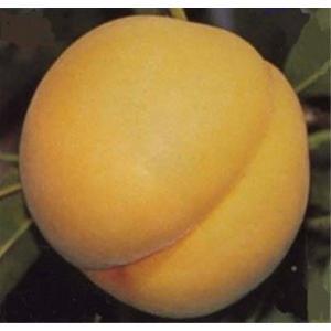 ★送料無料(本州・北海道限定)★黄金色の果肉は甘味とほのかな酸味のコラボレーション!【福島の桃 『黄金桃』 約2.5kg(8〜11個)×3箱】|idumiya-st