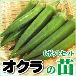 【5月下旬頃発送】野菜苗 オクラの苗 6ポットセット|iimono-ya