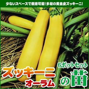 【5月下旬頃発送】野菜苗 ズッキーニ オーラムの苗 6ポットセット|iimono-ya