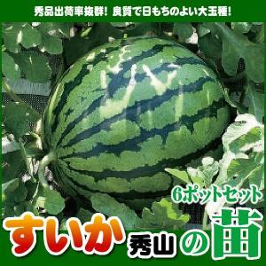 【5月下旬頃発送】野菜苗 スイカ 秀山の苗 6ポットセット|iimono-ya