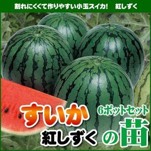 【5月下旬頃発送】野菜苗 スイカ 紅しずくの苗 6ポットセット|iimono-ya