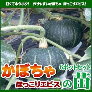 【5月下旬頃発送】野菜苗 カボチャ ほっこりえびすの苗 6ポットセット|iimono-ya