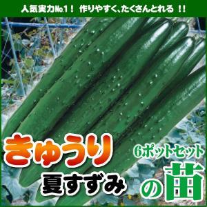 【5月下旬頃発送】野菜苗 キュウリ 夏すずみの苗 6ポットセット|iimono-ya