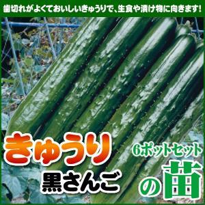 【5月下旬頃発送】野菜苗 キュウリ 黒さんごの苗 6ポットセット|iimono-ya