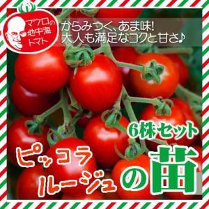【5月下旬頃発送】マウロの地中海トマト ピッコラルージュの苗 6株セット|iimono-ya