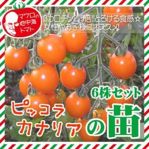 【5月下旬頃発送】マウロの地中海トマト ピッコラカナリアの苗 6株セット|iimono-ya