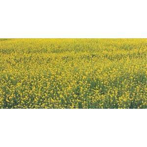 緑肥 景観用緑肥 シロカラシ 地力 1kg カネコ種苗|ikedagreen