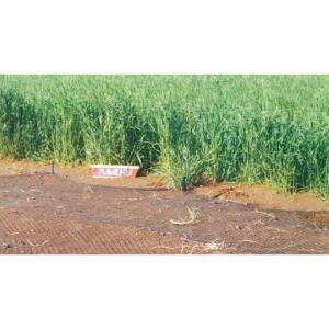 カネコ種苗 ライ麦 ハルミドリ 1kg
