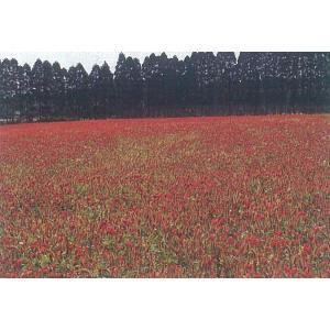 カネコ種苗 緑肥用 クリムソンクローバー 500g|ikedagreen