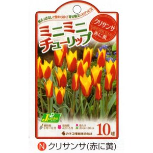 春の訪れを告げるかわいい花。チューリップの球根です。チューリップの原種に近い品種で個性的な花姿とかわ...